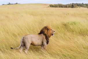 Safari Leones del Serengueti