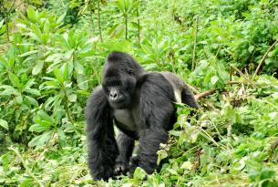 La selva impenetrable de Bwindi (Uganda)