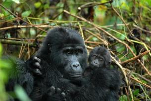 Gorilas de Bwindi