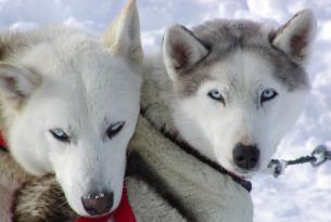 Trineo de Perros en la Laponia finlandesa: el sueño de la taiga. 8 días