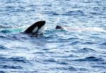 Puente de Mayo en Noruega: Lofoten, Vesteralen y ballenas