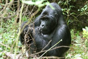 Uganda: la senda de los gorilas