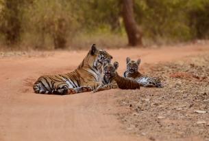 Descubre en familia los grandes felinos de la India