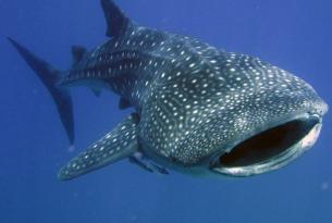 Viaje buceo México Baja California especial Tiburón Ballena.