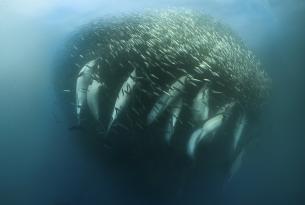 Viaje buceo Sudáfrica Sardine Run